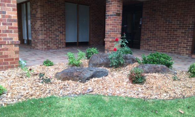 Heritage Roses at the Springthorpe Retirement Village